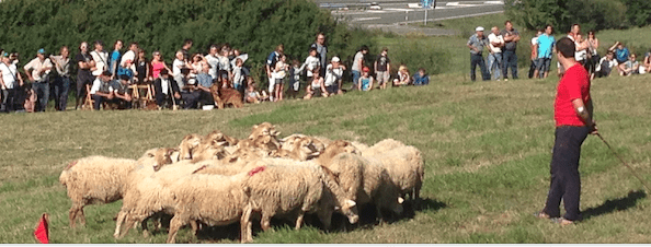 Rebaño de ovejas cerca de Uharte-Arakil