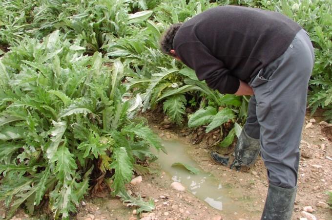 Arranca la campaña de la alcachofa de Tudela con un 20% más de superficie con indicación geográfica protegida
