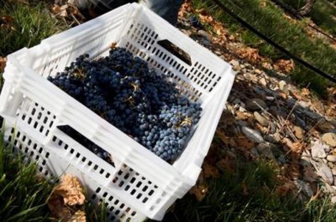 La vendimia en la D.O. Navarra llega a su fin con la recogida de 75 millones de kilos