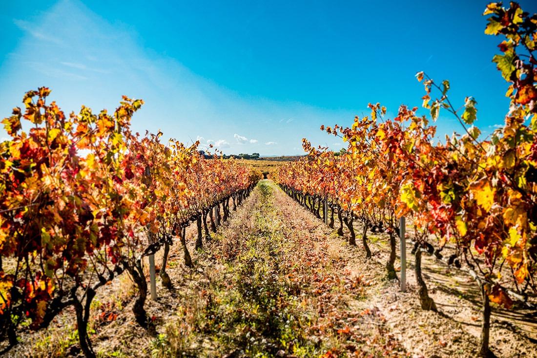 """La vendimia de este año de la DO Navarra será de 75 millones de kilos de uva """"de óptima calidad""""."""