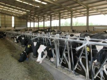 explotacion vacuno leche - ganadería - vacas