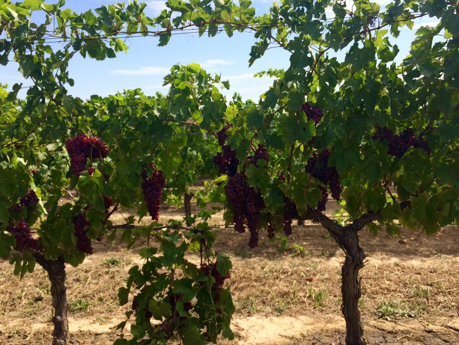 Finca de viña perteneciente a Viveros Villanueva.