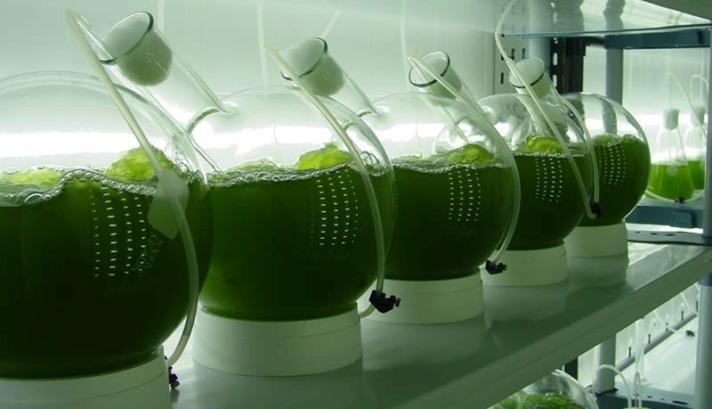 Ensayo en laboratorio de microalgas para biorrefinería