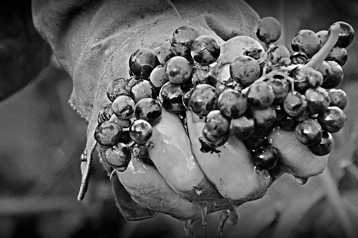 gil-berzal-uvas