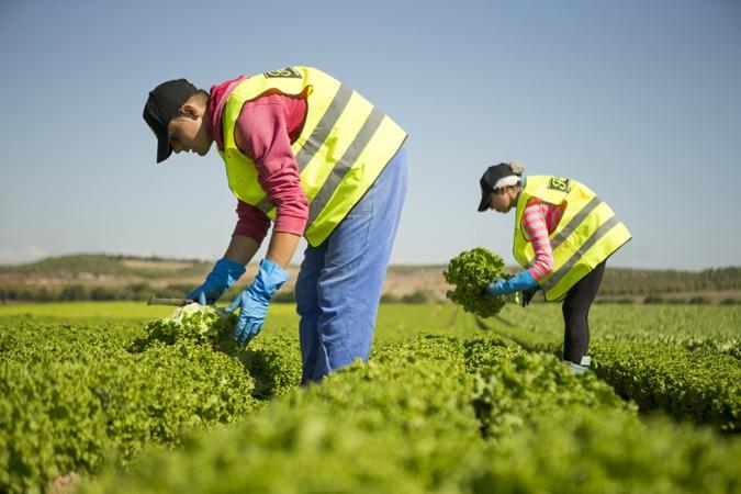 Operarios de Florette trabajan en uno de sus campos de cultivo de lechugas.