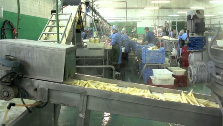 Una línea de producción de Espárrago de Navarra a pleno rendimiento.