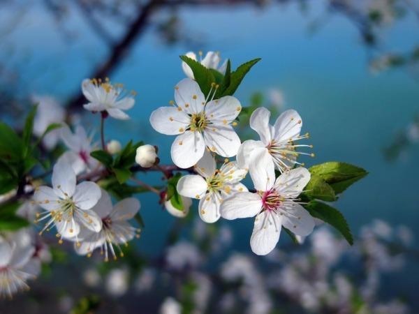 El Valle del Jerte celebra la primavera con sus cerezos en flor.