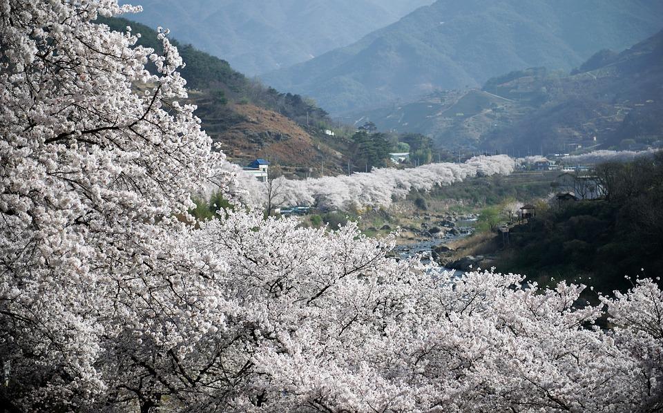 Jerte-Sakura-extremeno