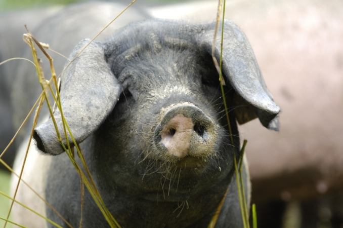 Ejemplar de cerdo Pío Negro o Euskal Txerri.
