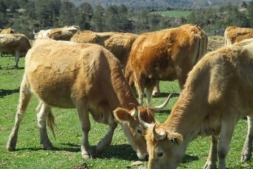 Ejemplares de vaca Betizu.