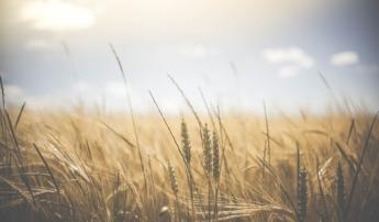 El proyecto WHEATQUAL_2018 busca conseguir un trigo más resistente.