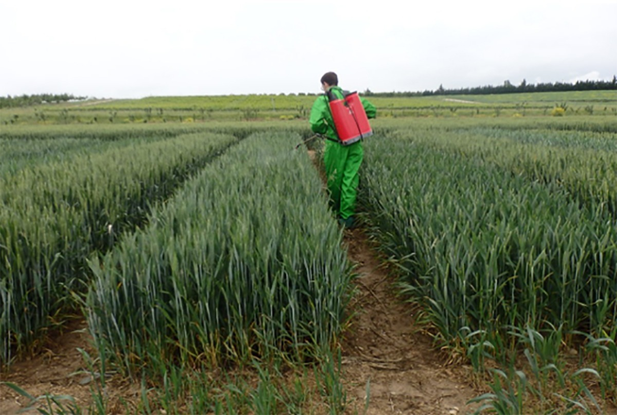 Se están desarrollando ensayos para evaluar el trigo en respuesta al efecto bioestimulante, junto con la aplicación simultánea de fungicidas.