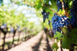 La vid es uno de los cultivos que pueden resultar más afectados por el cambio climático.