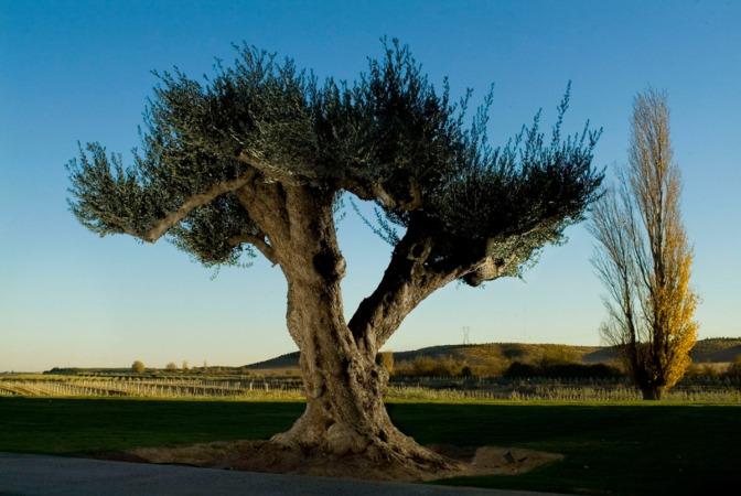 La DOP Aceite de Navarra cuenta con más de 2.700 hectárea de olivares inscritas.