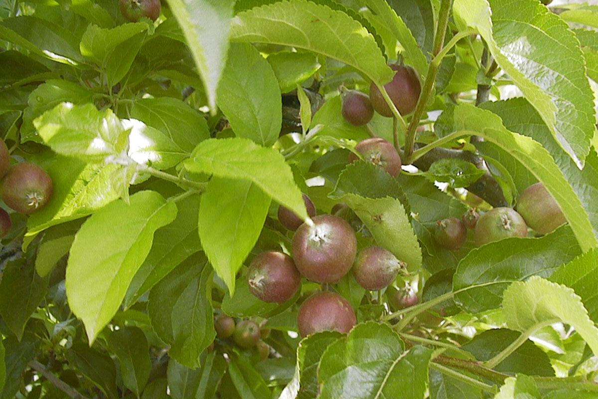 Un manzano con frutos en crecimiento.