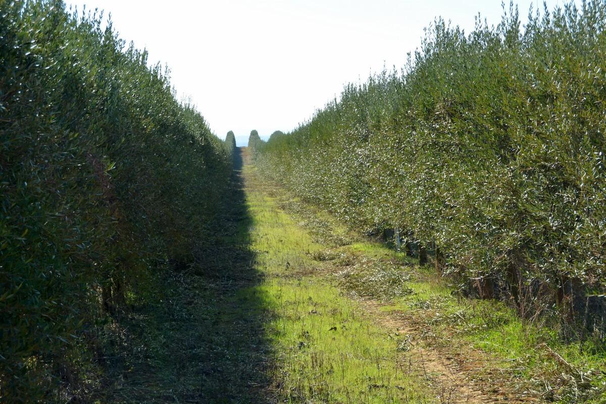 Olivos-bodegas-Ochoa-aceite