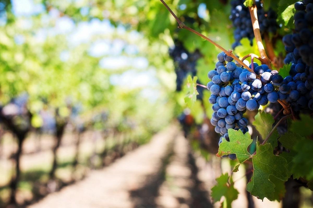 vino-viñedo-uvas-turismo
