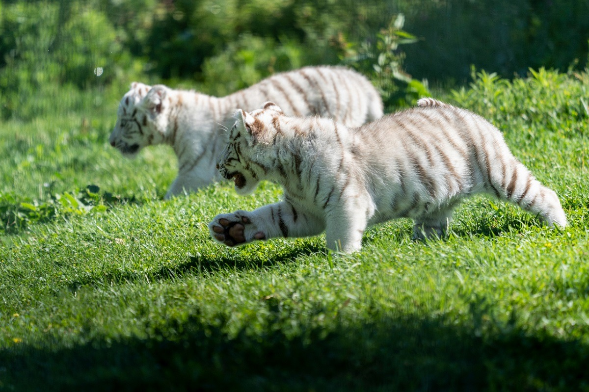 Tigres blancos Sendaviva 3
