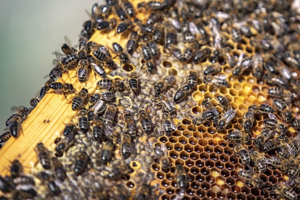 Desde el 2016, las abejas se han considerado especie en peligro de extinción.