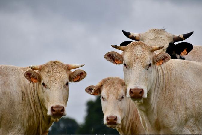 """Gonzalo Palacios cree que la venta de vacas """"se paralizará"""" en breve."""