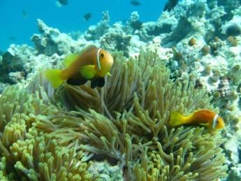 Maldivas posee una espectacular fauna marina que habita en sus arrecifes de coral.
