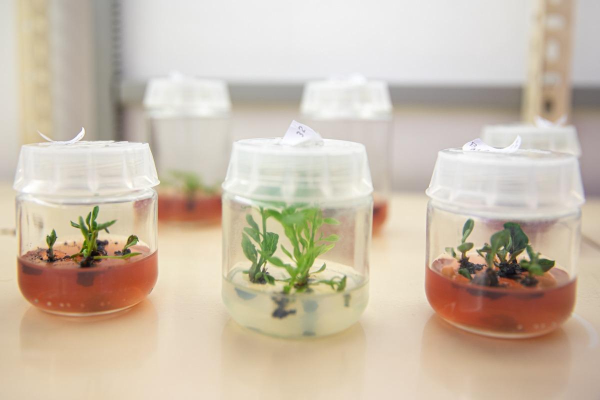 Frascos con muestras de plantas de pistacho.